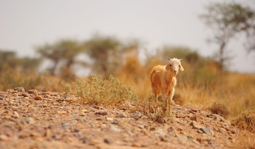 arabowie-koza-160108-1024600