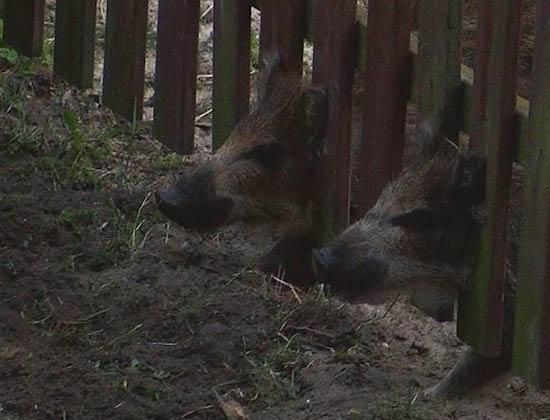 dziki-swinoujscie-160623-500