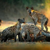 W imieniu hien głos zabrała hiena